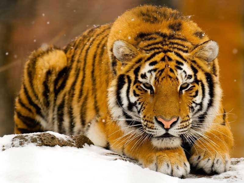 Бойният химн на тигрицата-майка – 2 част
